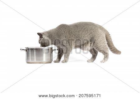 Portrait Of British Shorthair Cat And Pan