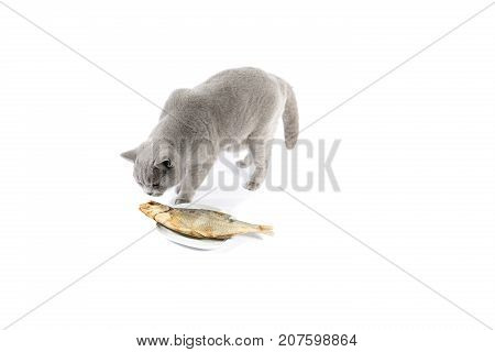 Portrait Of British Shorthair Cat With Fish On A White Background