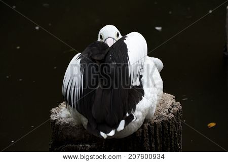 White pelican with black open wings covers the beak with wings. Pelican in a beautiful trough