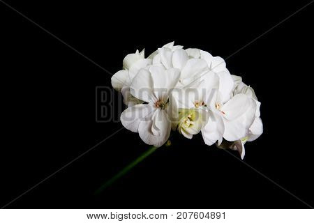 Delicate flowers of a fragrant white geranium on a black background.