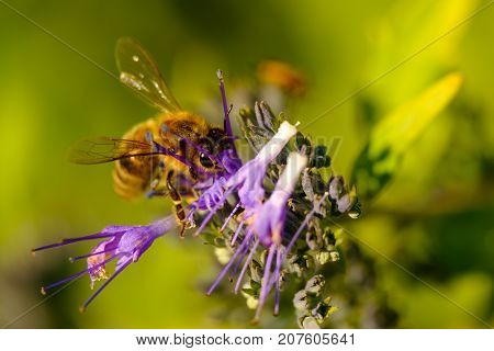 View on pollinating bee on purple flower