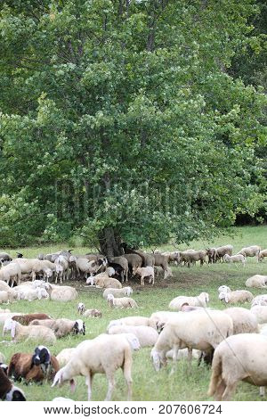 flock with many sheep in the forest under the tree in the mountains
