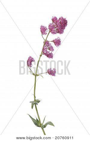Blooming red valerian