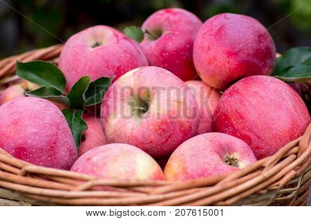 Basket Of Ripe Apples