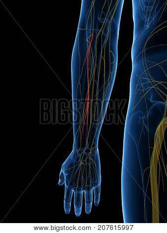 3d rendered medically accurate illustration of the Deep Branch Radial Nerve
