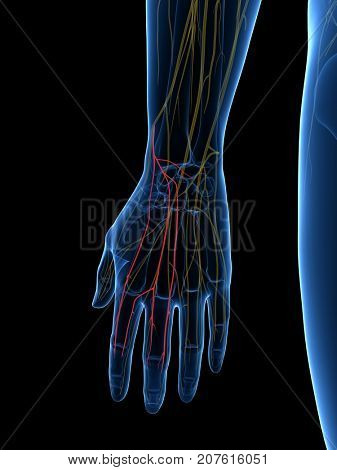 3d rendered medically accurate illustration of the Dorsal Digital Branches Radial Nerve