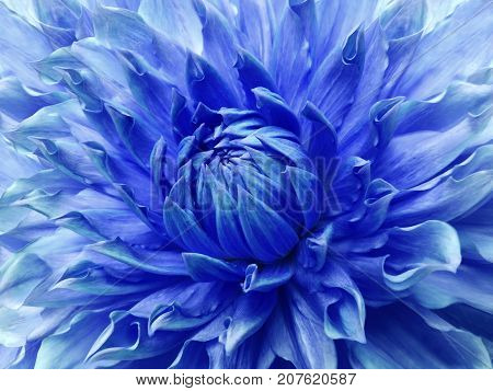 Dahlia blue flower. Macro. Motley big flower. Background from a flower. Nature.
