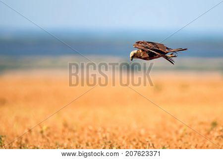 Western marsh harrier or Circus aeruginosus hunting