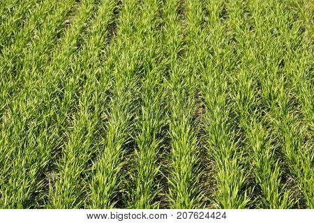 Cultivation of winter crops. Spring shoots promise a good harvest.