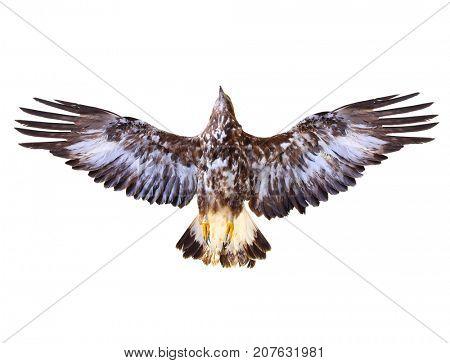 Golden Eagle flying. Bird of prey on white background. Wildlife theme.