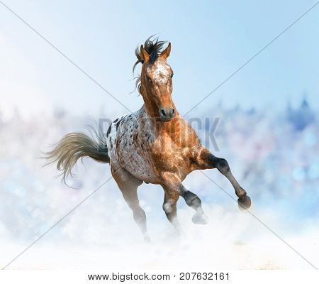 Beautiful appaloosa stallion running gallop in sunset prairies