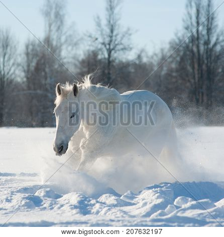 Whitesnow stallion in the snowy sunny day running