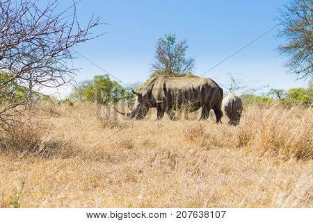 White rhinoceros female with puppy from Hluhluwe-Imfolozi Park South Africa. African wildlife. Ceratotherium simum