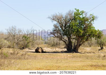 White rhinoceros sleeping under a tree from Hluhluwe-Imfolozi Park South Africa. African wildlife. Ceratotherium simum