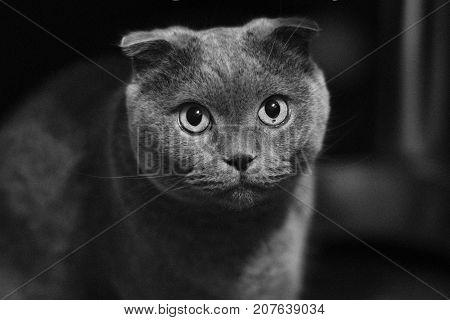 beautiful black and white portrait of a Scottish fold cat