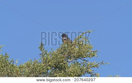 Spotted Towhee in a Badlands Tree in Theodore Roosevelt National Park in North Dakota