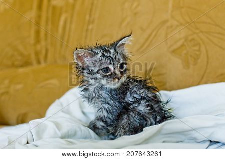 Wet Soggy Scared Kitten After Bath. Animal Hygiene. Destruction Of Parasites. Treatment From Fleas.