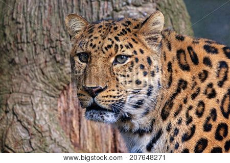 Close up of a beautiful leopard face with the animal looking into the distance. Space for text.