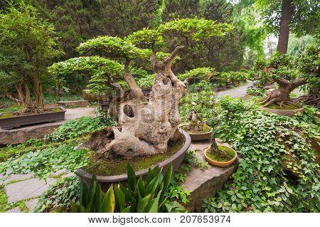 Bonsai tree in vegetation in a chinese park, Chengdu, China