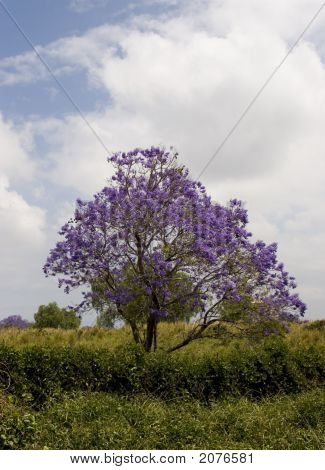 Hawaiin  Jacaranda Tree