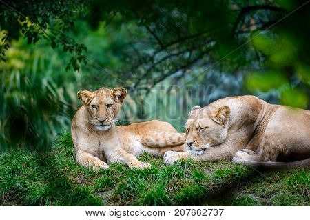 Two female of Barbery lion (Panthera leo leo) wild life animal