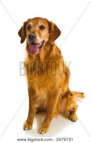 Golden Retriever Series (Canis Familiaris)