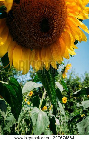 Big sunflowers and bees against the sky and blured background