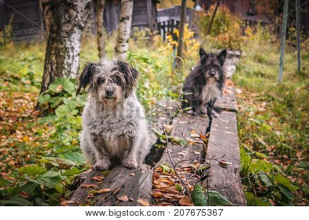 Homeless sad dogs sitting on a wooden porch.