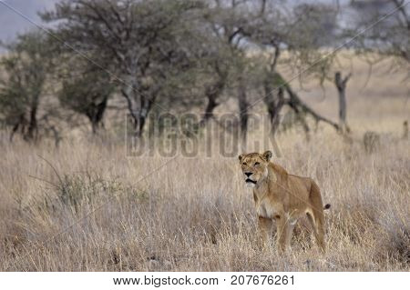 Lioness in position to attack looking for an opportunity to have lunch in Serengeti of Africa.