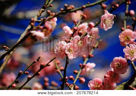 Pink flower. Chinese plum, Japanese apricot. Prunus mume