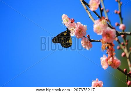 butterfly drinking from Chinese plum, Japanese apricot. Prunus mume