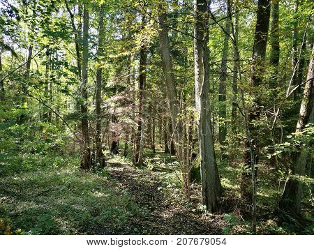 Sunny alder stand in fall, Bialowieza Forest, Poland, Europe