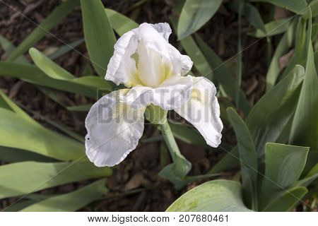 One White Iris With Yellow Beard (possibly Frequent Flyer)