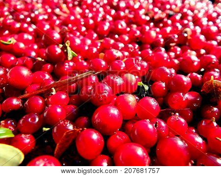 Cranberry (lingonberries , cowberry) - red background ,  (Vaccinium vitis-idaea)