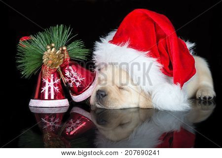 adorable labrador puppy sleeping on black background
