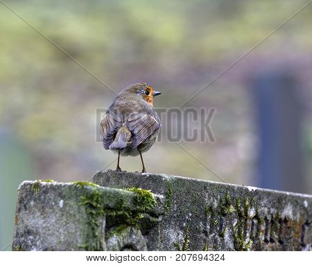 The European robin (Erithacus rubecula) known simply as the robin or robin redbreast.