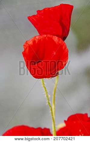 Red Wild Flowers Of Papaver Rhoeas, Corn Field Poppy With Buds, Close Up
