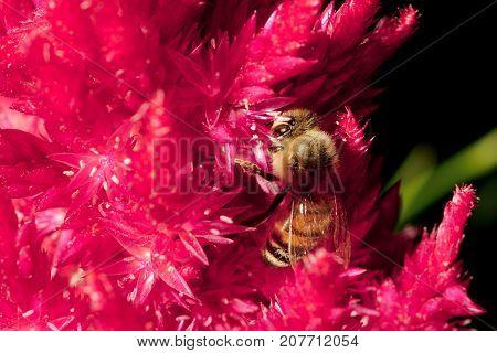 Honey Bee Feeding on Pampas Plume Celosia Mix