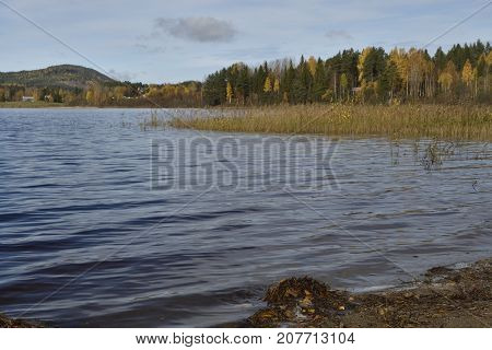 Sea shore with small waves and sea read forest with birch with yellow leaf in background.