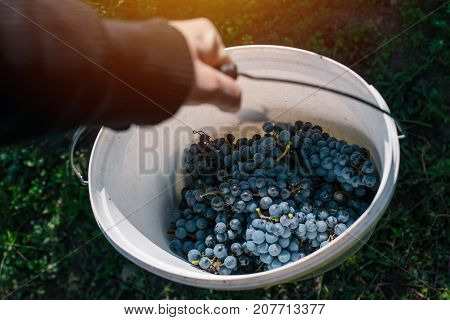 Male viticulturist harvesting grapes in grape yard organic farmer and agronomist filling bucket with wine grapes manual grape gathering selective focus