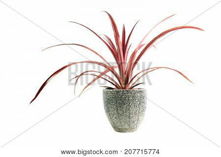 Red potted plant trees in the pot isolated on white background.