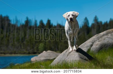 young cute labrador retriever dog puppy standing on stones in front of a lake with blue sky