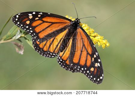 Female Monarch Butterfly (danaus plexippus) with Goldenrod flowers and a green background