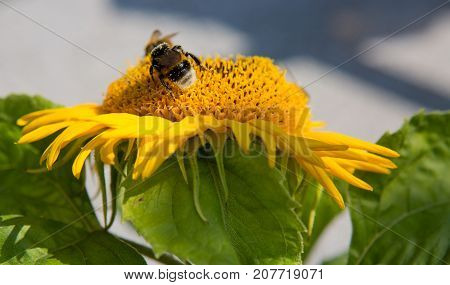 Sunflower with bumblebee on a warm summer day.