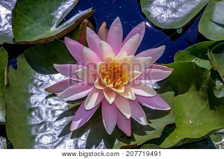 Closeup of pink lotus flower with yellow center on top of green lilly leaves