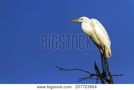 Great, common or large egret, ardea alba, standing at the top of a tree by beautiful day, Neuchatel, Switzerland