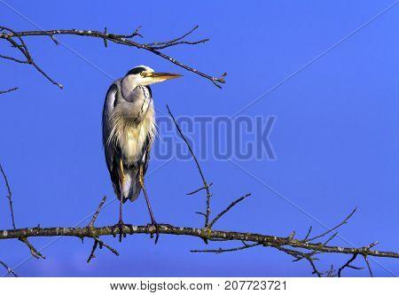 Grey heron, ardea cinerea, standing in a tree by day, Neuchatel, Switzerland