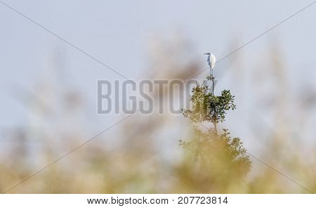 Great, common or large egret, ardea alba, standing at the top of a tree by beautiful day