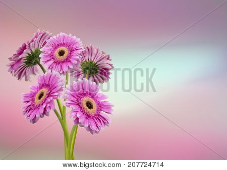 View of Five pink flowers on a pinky blue background