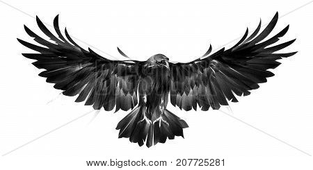 sketch picture of bird crows on white background in front